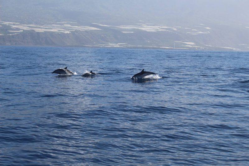 dolphinlapalma