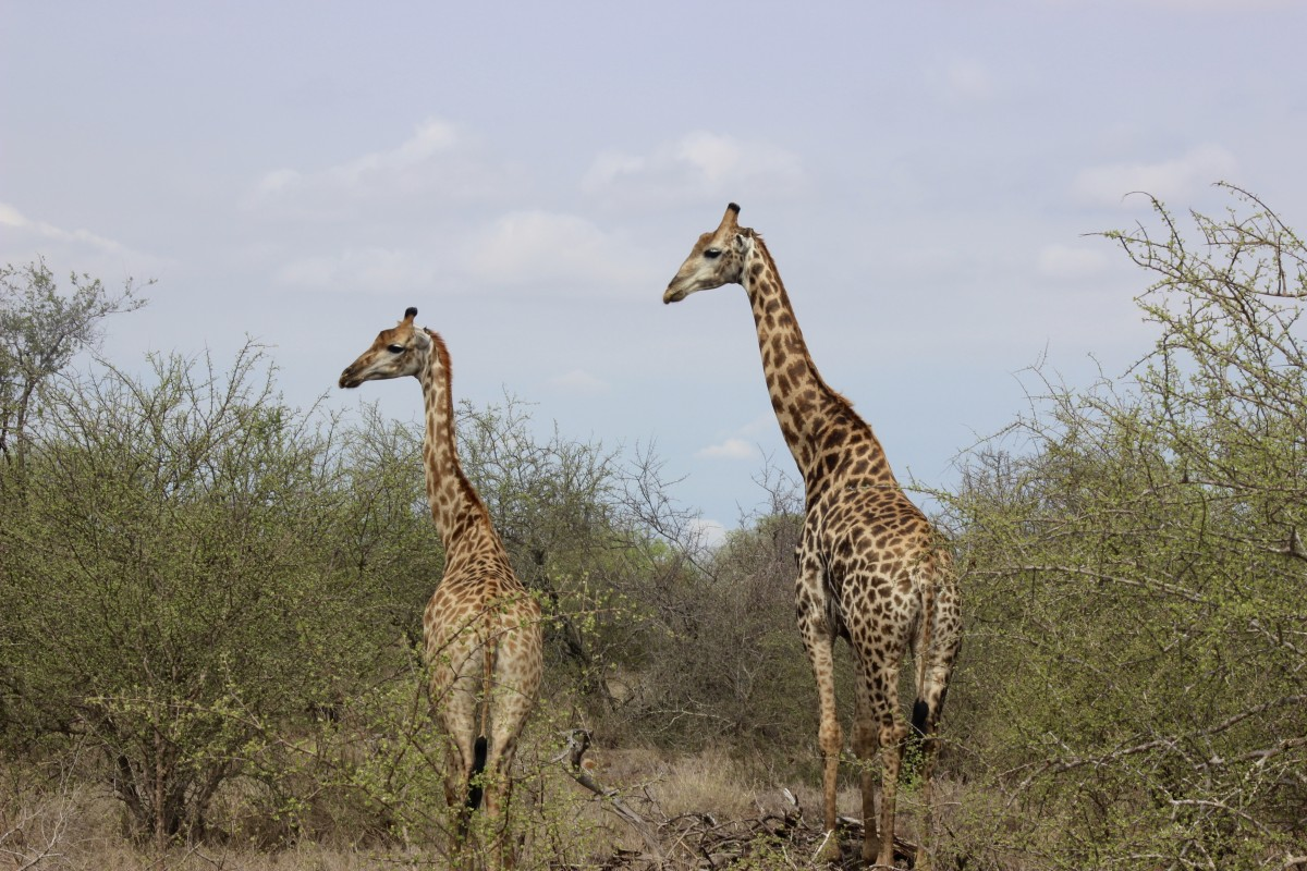 giraffe in a national park, visit national parks is a popular thing to do in port elizabeth, south africa