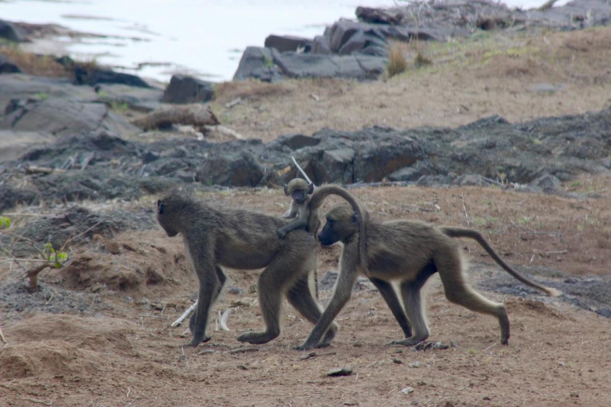 charm baboon family