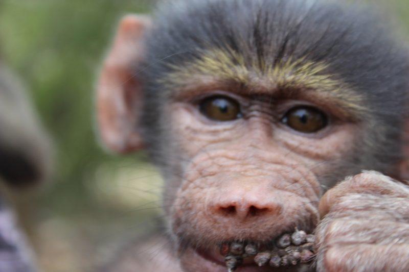 charm baboon