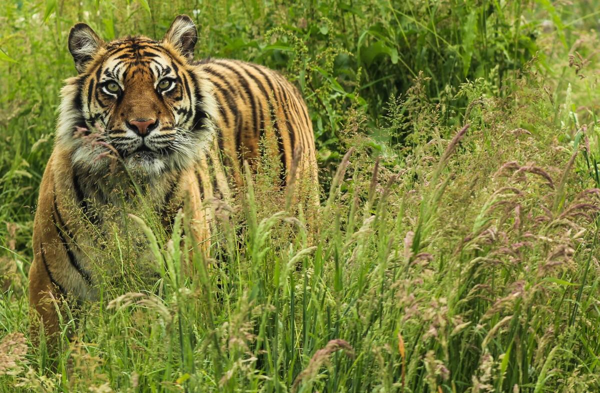 WHF big cat