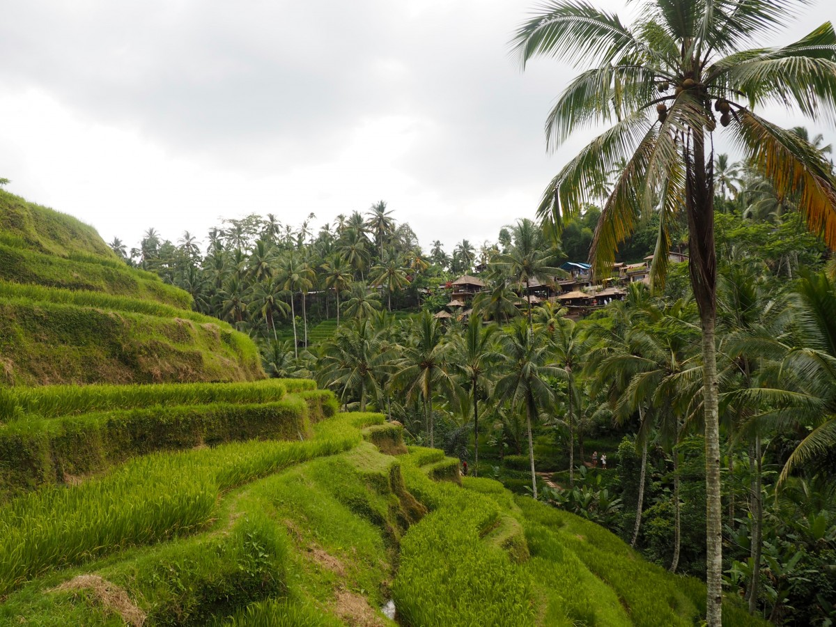 The rice fields in Ubud, Indonesia. A popular excursion when visiting Bali