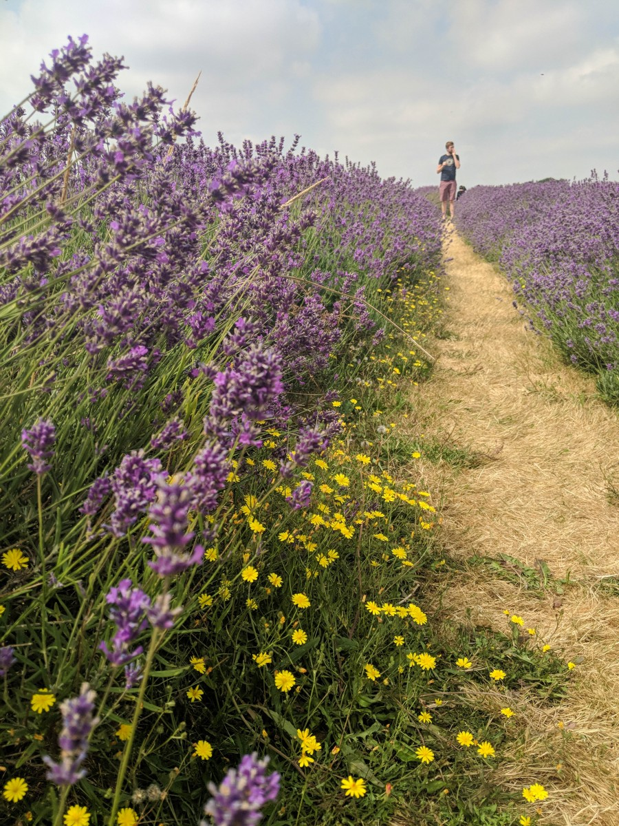 A close up of lavender in the mayfield lavender field with a man in the background