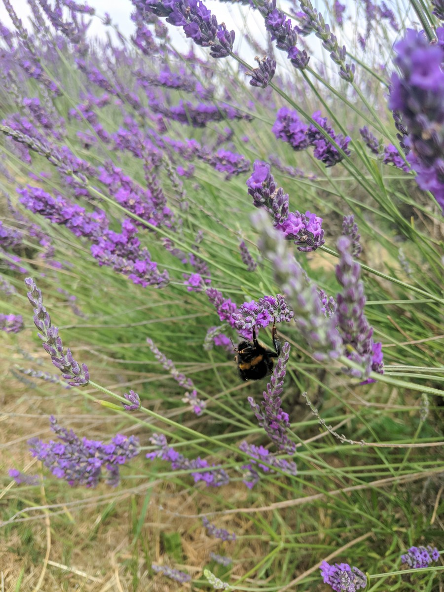 A close up of a bee working in the lavender fields