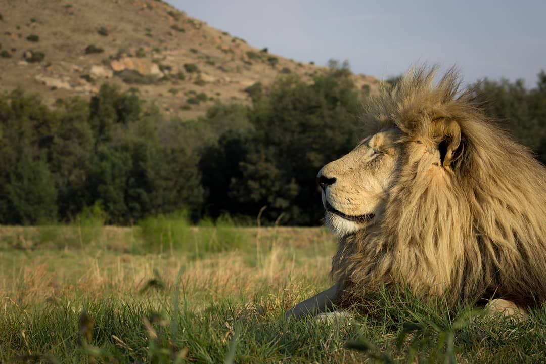 An ex-breeding farm lion at Lionsrock in Bethlehem, South Africa