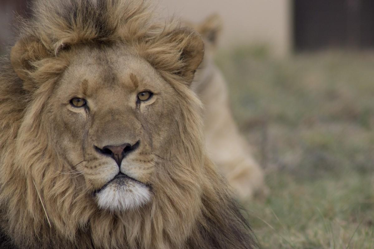 ex-breeding cat at lionsrock, bethlehem