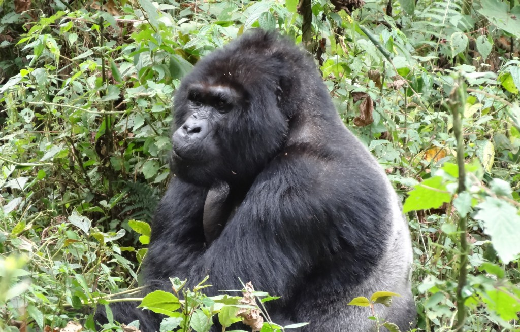 a gorilla in bwindi national park, one of the best safari experiences in uganda