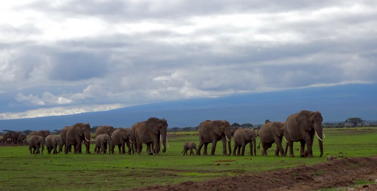 Elephants in the Amboseli National Park, Kenya. Amboseli National Park is said to be one of the best safari destinations in Africa