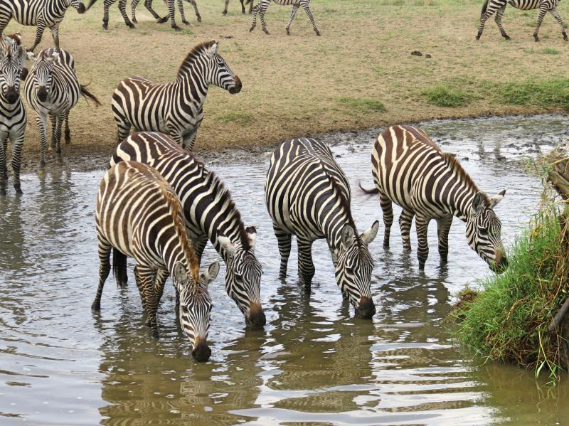 herd of zebra by the water in the Serengeti National Park