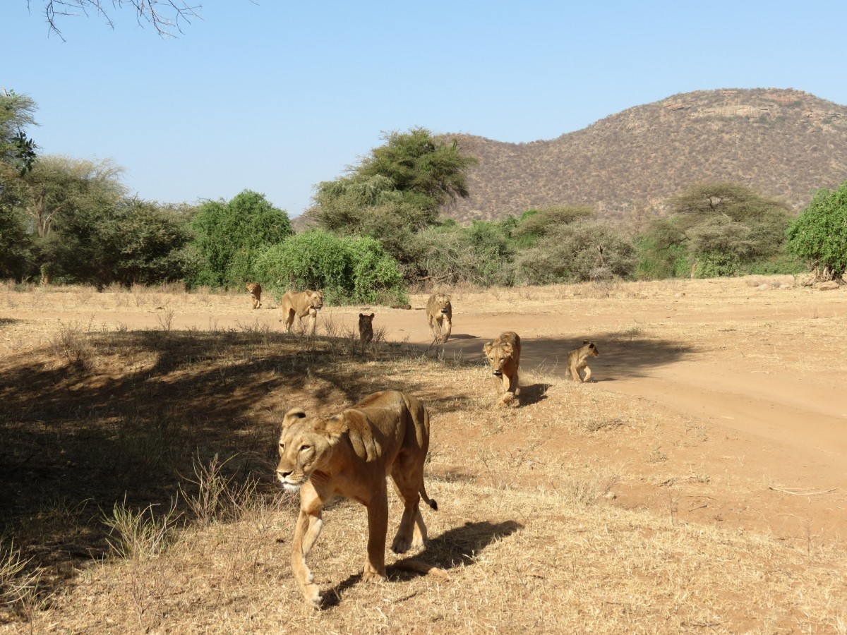 Lions in the Samburu game reserve, kenya