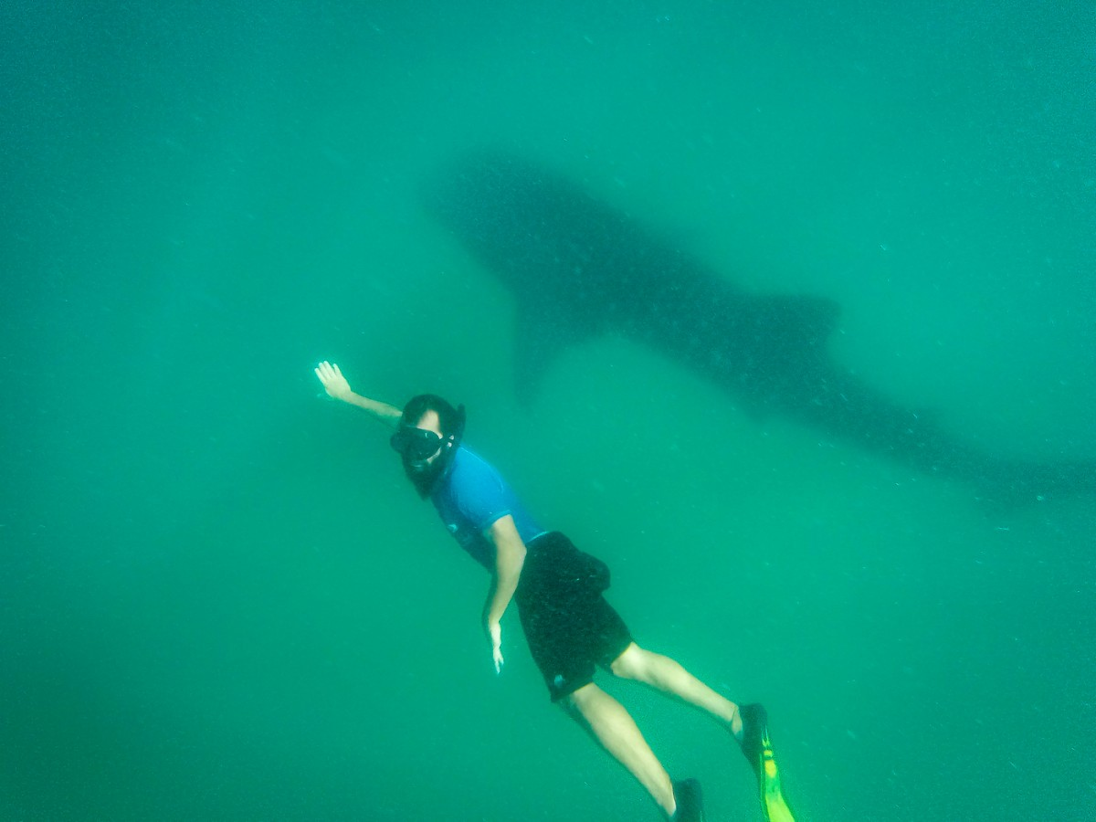 Mozambique Whale Shark