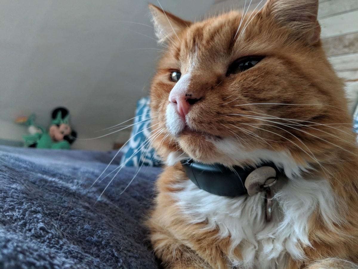 chat de gingembre portant le collier de chat de traction gps