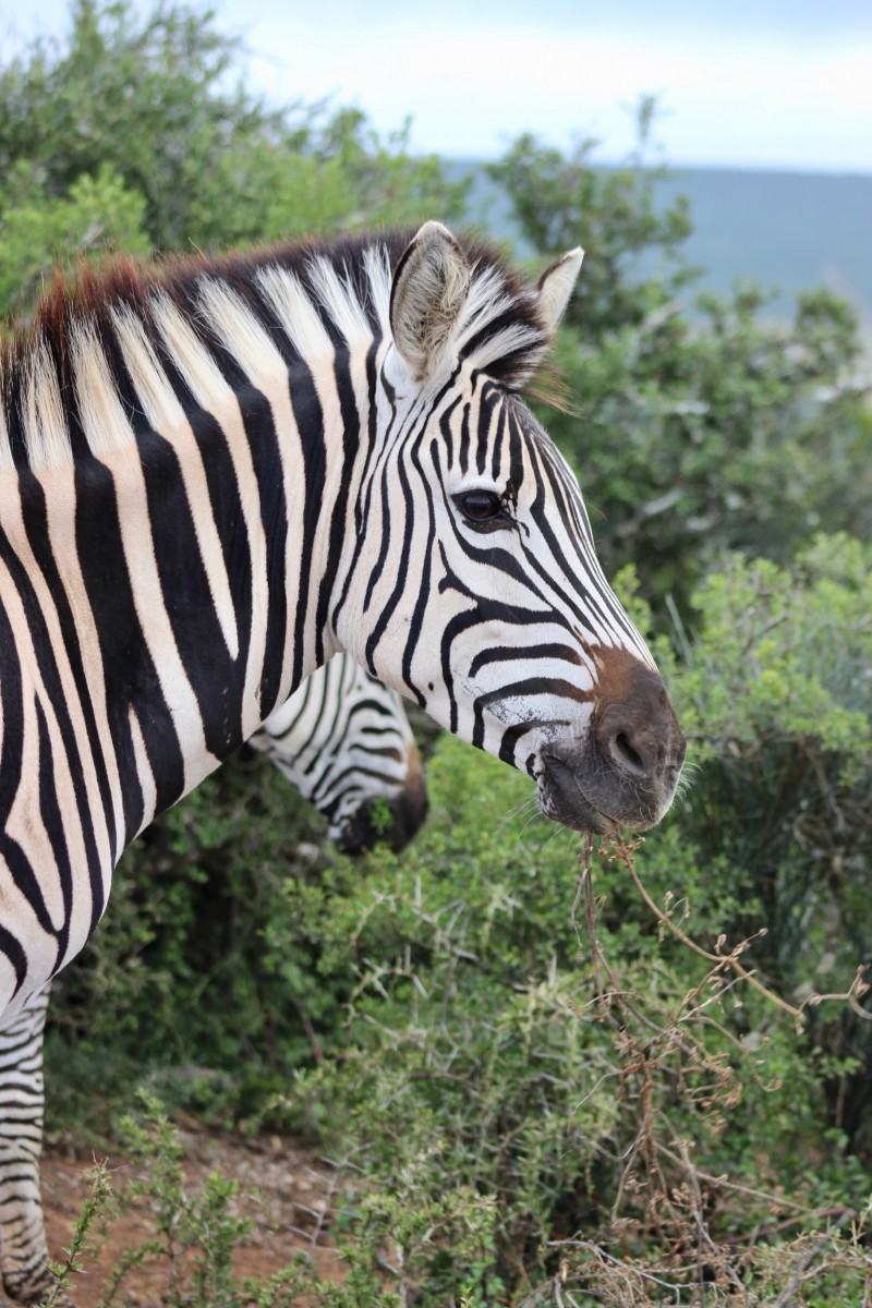 zebra in the addo elephant national park on a self drive safari