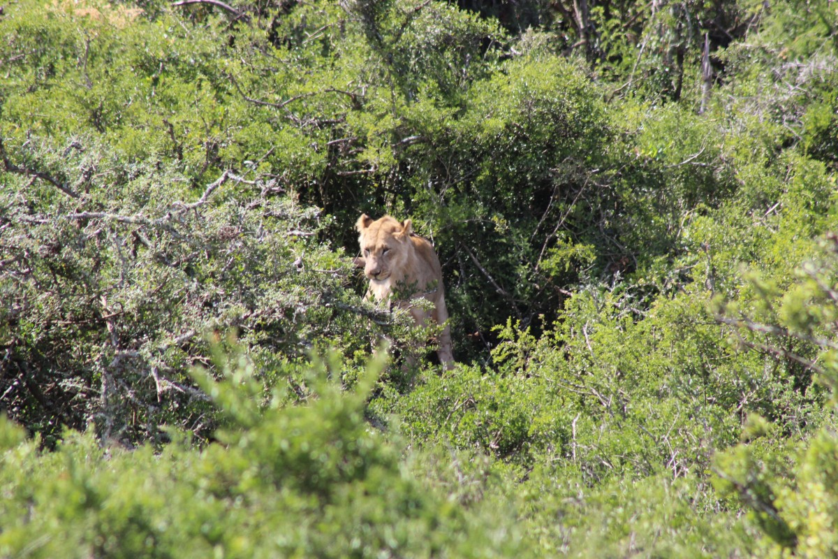 lion in the addo elephant national park on a self drive safari