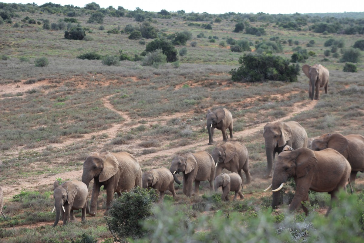 elephants in the addo elephant national park on a self drive safari