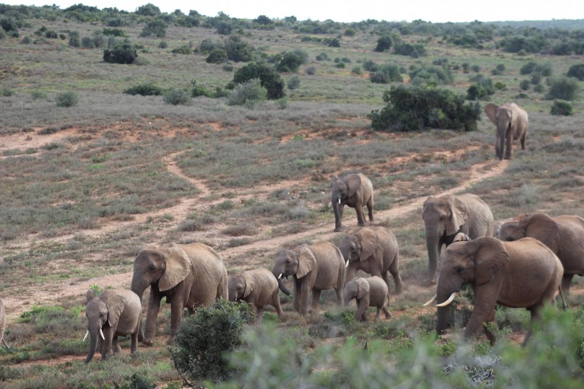 elephants in the addo elephant national park on a self drive safari