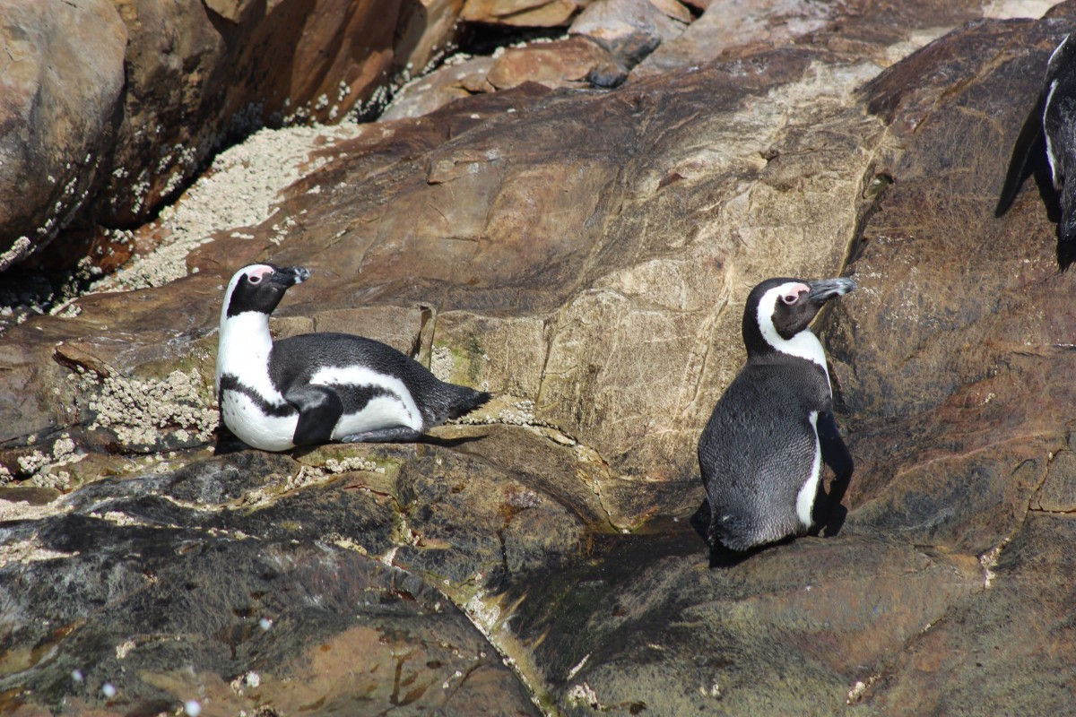penguins on the rocks of algoa bay, penguin spotting in a popular thing to do in port elizabeth