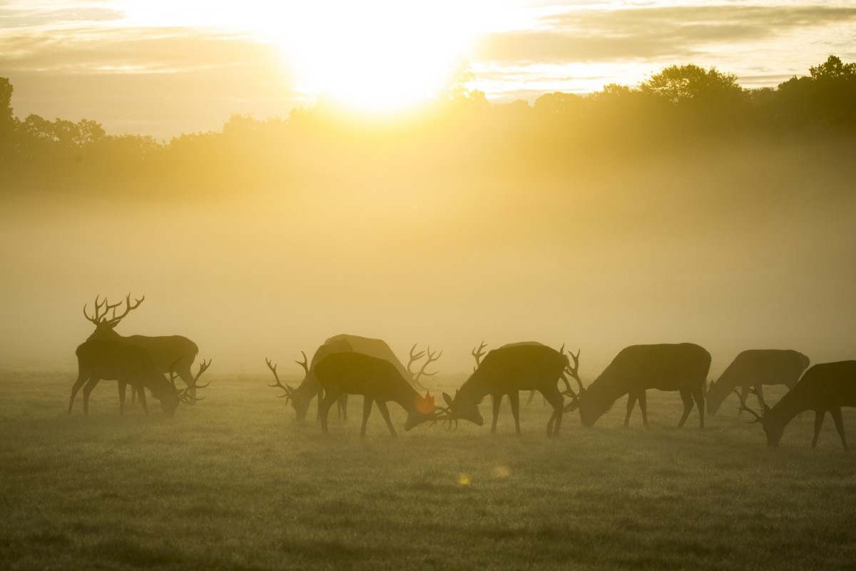 red rut deers in the morning sun, suffolk