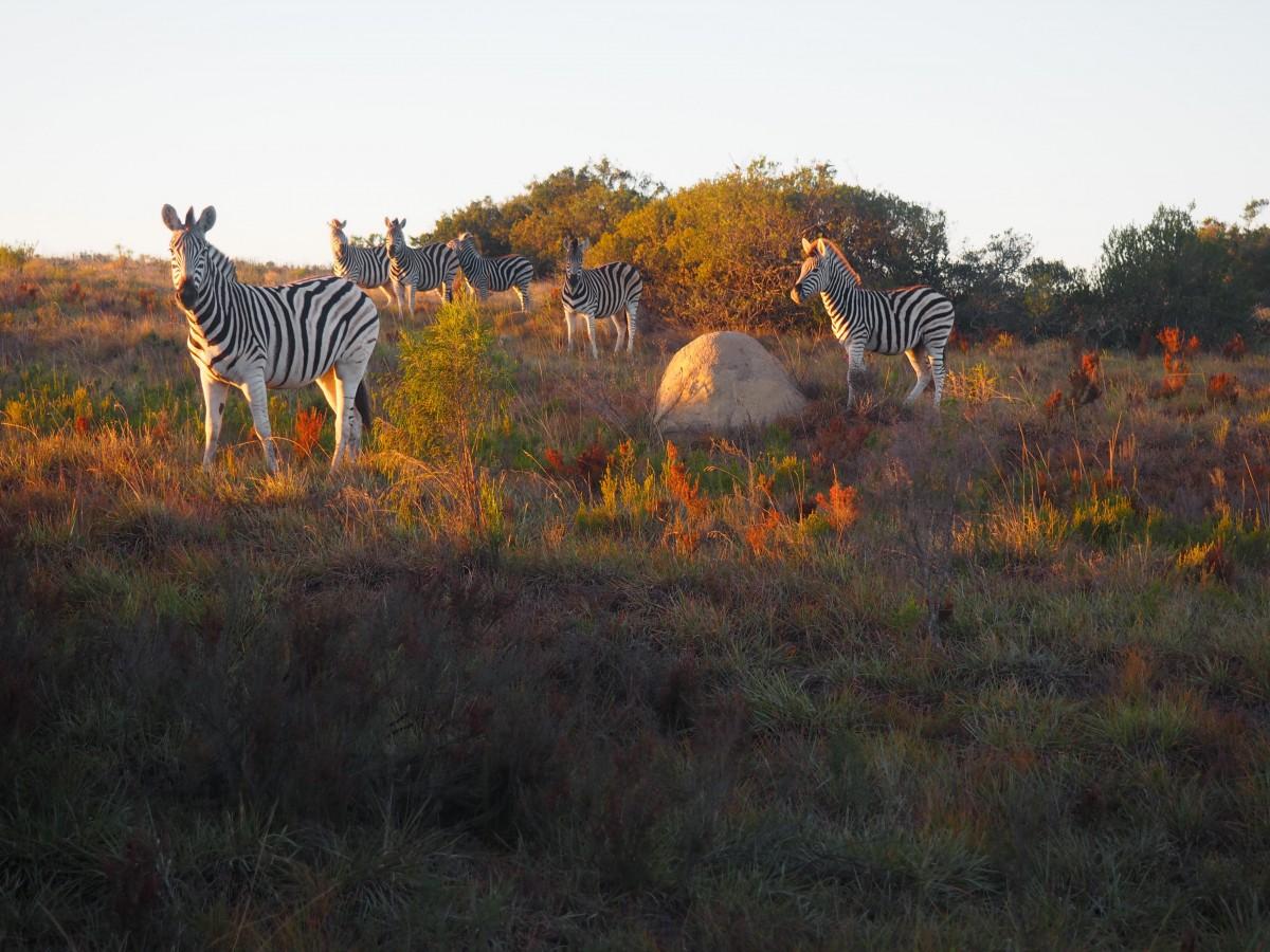 Wild Zebra on the Amakhala Game Reserve