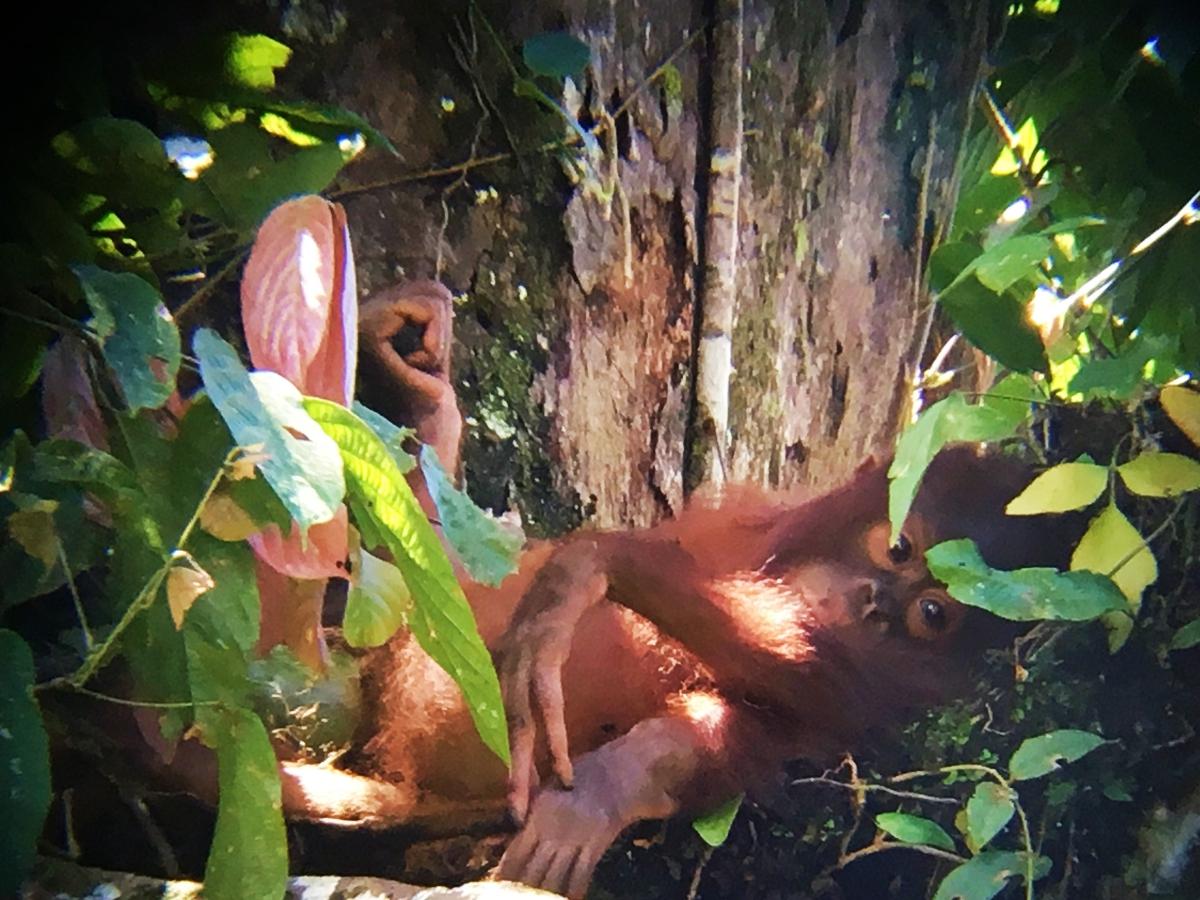wild orangutan in sabah