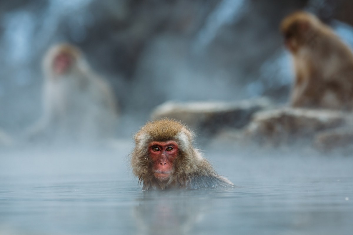 snow monkey in a hot spring in japan, a wild alternative to the animal cafes of tokyo