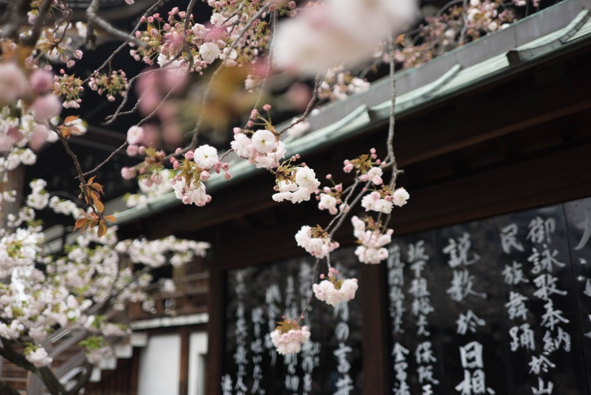 cherry blossom in japan over temple