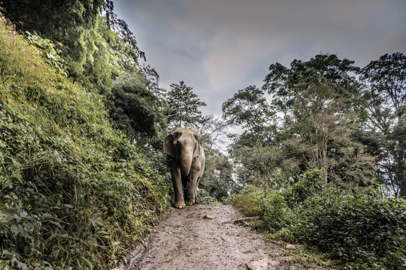 wild asian elephant walking through jungle, an ethical way to see elephants in asia