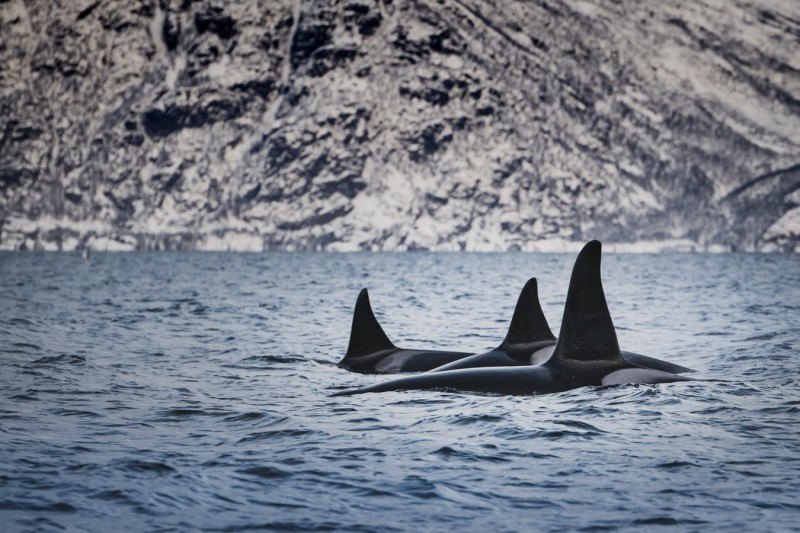 orca in the water during daytime