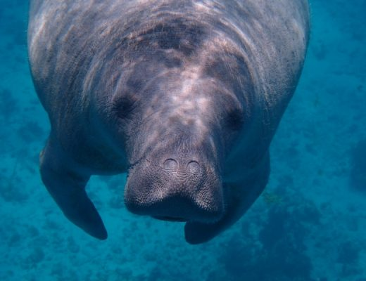 manatee under water taken from a national park webcam