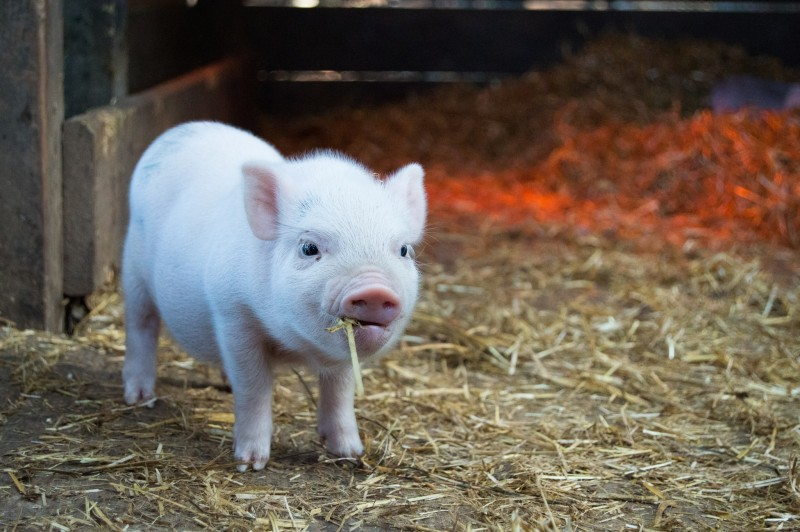 piglet eating hay in a farm